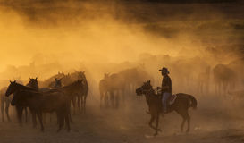 Western cowboys riding horses, roping wild horses Stock Images