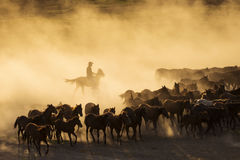 Western cowboys riding horses, roping wild horses.  Royalty Free Stock Photos