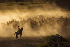 Western cowboys riding horses, roping wild horses Royalty Free Stock Images