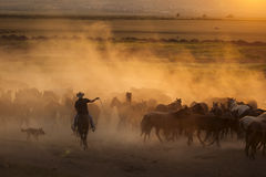 Western cowboys riding horses, roping wild horses stock photography