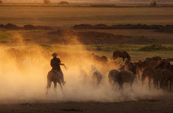 Western cowboys riding horses, roping wild horses stock image