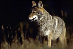 Western Coyote. Taken in Japser National Park, Canada Royalty Free Stock Photo