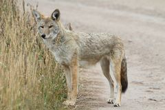 Western Coyote Canis latrans Stock Photo