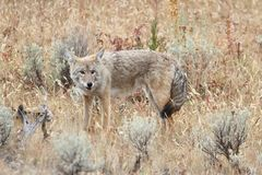 Western Coyote Canis latrans. In a field in Yellowstone National Park Royalty Free Stock Photography