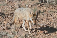 Western Coyote (Canis latrans) Stock Photo
