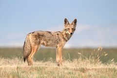 Western Coyote Royalty Free Stock Photography