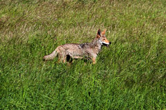 Western Coyote Stock Image
