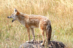 Western Coyote Howling. Western Coyote (Canis latrans) howling in Yellowstone National Park Royalty Free Stock Photos