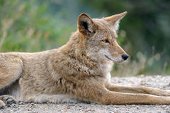 Western Coyote resting. A coyote (Canis latrans) rests on an overcast day in Yosemite National Park in California Royalty Free Stock Photo