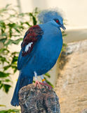 Western Crowned Pigeon Stock Images