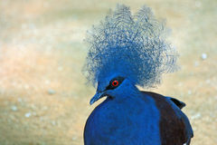 Western Crowned Pigeon Royalty Free Stock Images