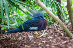 Western Crowned Pigeon Royalty Free Stock Image