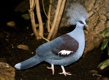 Western Crowned Pigeon (Goura cristata) Royalty Free Stock Photo