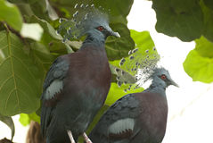 Western crowned pigeon (Goura cristata) Stock Photography