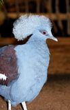 Western Crowned Pigeon. Royalty Free Stock Images