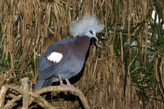 Western crowned-pigeon, Goura cristata Stock Photos