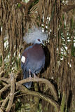 Western crowned-pigeon, Goura cristata Royalty Free Stock Image