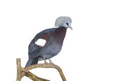 Western crowned-pigeon, Goura cristata Stock Images