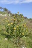 Western Cyprus Jerusalem Sage Royalty Free Stock Photography