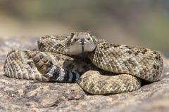 Western diamondback rattle snake on rock