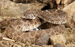 Western Diamondback Rattlesnake. (Crotalus atrox Stock Photos