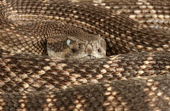 Western Diamondback Rattlesnake. (Crotalus atrox). Milky eyes indicates shedding will begin soon Royalty Free Stock Image