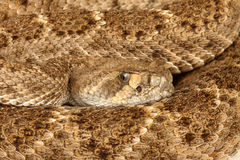 Western Diamondback Rattlesnake. (Crotalus atrox Royalty Free Stock Photo