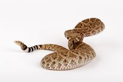 Western Diamondback Rattlesnake. (Crotalus atrox).  This can be one of the most aggressive rattlesnakes in the United States. It's large with potent venom. It Royalty Free Stock Photo