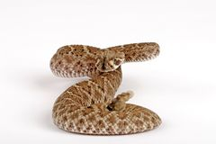 Western Diamondback Rattlesnake. (Crotalus atrox).  This can be one of the most aggressive rattlesnakes in the United States. It's large with potent venom. It Royalty Free Stock Image