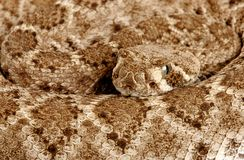 Western Diamondback Rattlesnake. (Crotalus atrox).  This can be one of the most aggressive rattlesnakes in the United States. It's large with potent venom. It Royalty Free Stock Images