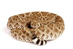 Western Diamondback Rattlesnake. (Crotalus atrox).  This can be one of the most aggressive rattlesnakes in the United States. It's large with potent venom. It Stock Image