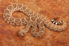Western Diamondback Rattlesnake. Stock Photography