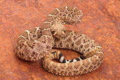 Western Diamondback Rattlesnake. Western Diamondback Rattlesnake (Crotalus atrox).  This can be one of the most aggressive rattlesnakes in the United States. It Royalty Free Stock Photo