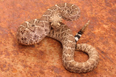 Western Diamondback Rattlesnake. Western Diamondback Rattlesnake (Crotalus atrox).  This can be one of the most aggressive rattlesnakes in the United States. It Royalty Free Stock Photography
