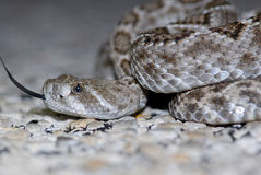 Western Diamondback Rattlesnake Royalty Free Stock Images