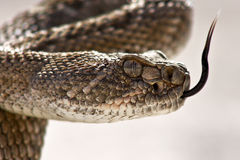 Western Diamondback Rattlesnake Closeup Stock Photography