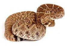 Western Diamondback Rattlesnake. Royalty Free Stock Images
