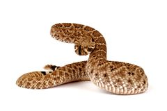 Western Diamondback Rattlesnake (Crotalus atrox). Royalty Free Stock Photo