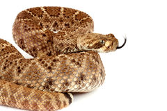 Western Diamondback Rattlesnake (Crotalus atrox). This can be one of the most aggressive rattlesnakes in the United States. It's large with potent venom. It Royalty Free Stock Photo