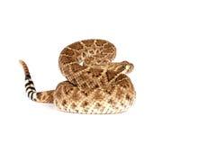 Western Diamondback Rattlesnake (Crotalus atrox). Stock Images