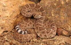 Western Diamondback Rattlesnake (Crotalus atrox). Royalty Free Stock Photo