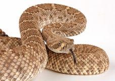 Western Diamondback Rattlesnake (Crotalus atrox). Western Diamondback Rattlesnake (Crotalus atrox) in aggressive posture Royalty Free Stock Image