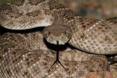 Western Diamondback Rattlesnake (Crotalus atrox) Stock Images