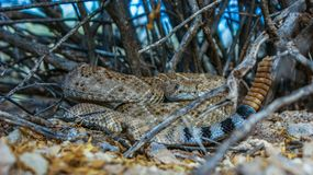 Western Diamondback Rattlesnake. Found in the Superstition Mountains of Arizona Stock Photo