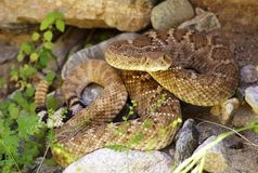 Western Diamondback Rattlesnake hiding in rocks Stock Images