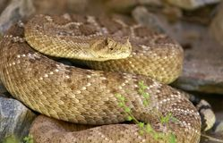 Western Diamondback Rattlesnake hiding in rocks Royalty Free Stock Photography