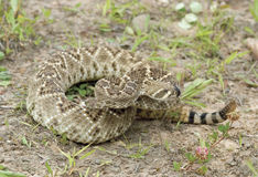 Western diamondback rattlesnake,narrow DOF. Western diamondback rattlesnake tasting the air with his tongue stock photo