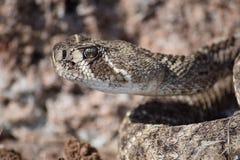 Western diamondback. Rattlesnake in oklahoma Stock Photo
