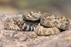 Western Diamondback Rattlesnake posed to strike Royalty Free Stock Image