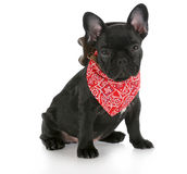 Western dog Stock Images